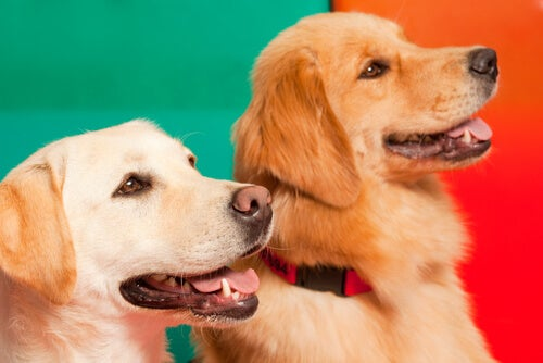 un labrador et un golden retriever