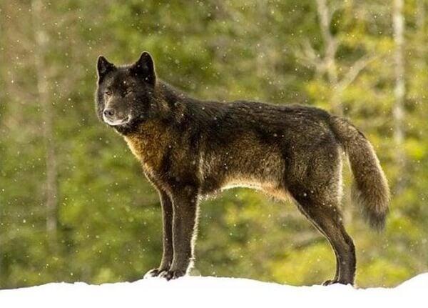 Un loup noir dans un bois sous la neige