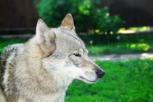 un chien qui ressemble à un loup