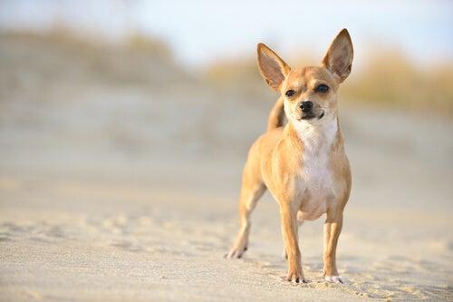 un petit chien sur une plage