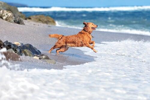 Un chien court vers l'eau à la plage