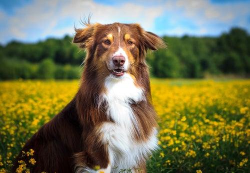 Un border collie marron est blanc face à un champs de colza