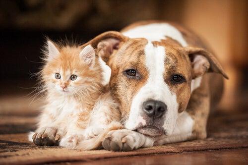 un chaton assis entre les pattes d'un chien