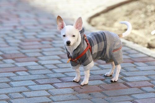 Un petit chien blanc porte un manteau