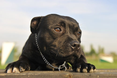 pitbull noir qui regarde autours de lui