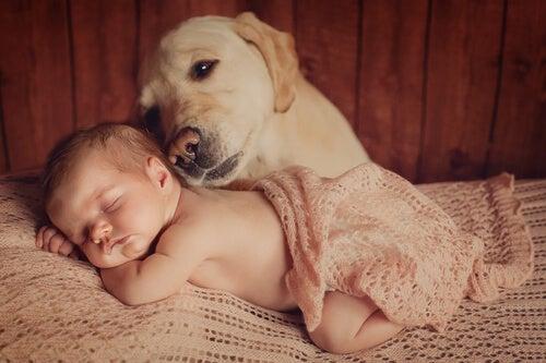 Labardor la tête posée sur le dos d'un nouveau-né