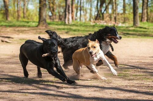 trois chiens courent pour un bâton