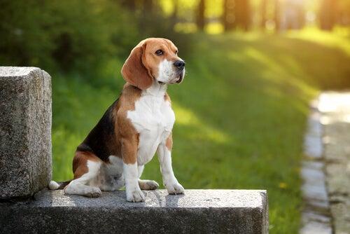 Le Beagle : découvrez tout sur cette race