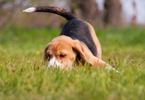 Un beagle renifle le sol d'un jardin