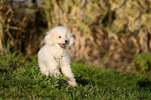 un caniche blanc dans l'herbe