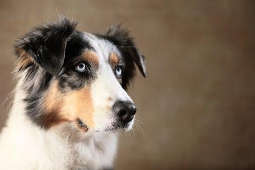 Votre chien a-t-il la capacité de vous tromper ?