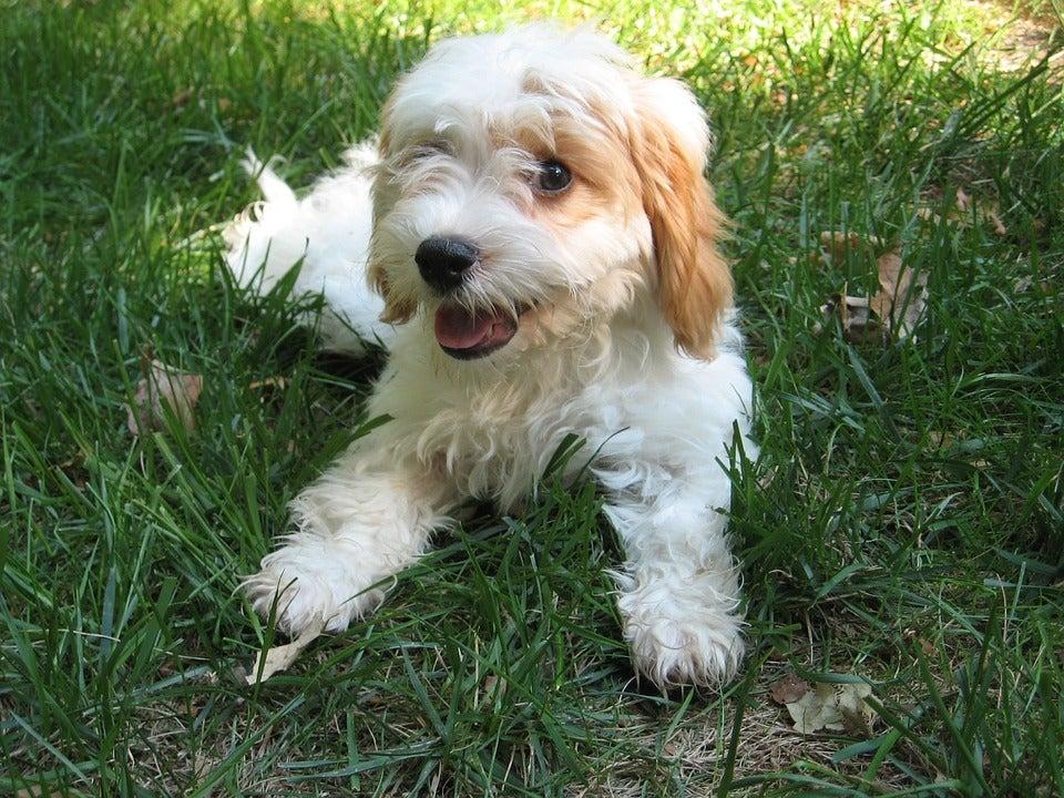 Un chien cavoodle blanc crème allongé dans l'herbe
