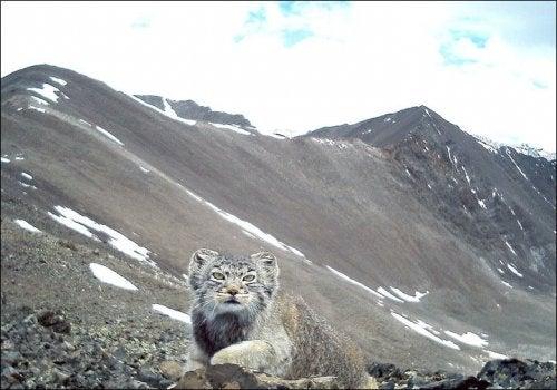 chat de Pallas dans les montagnes