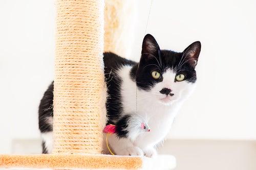 un chat noir et blanc perché sur un griffoir
