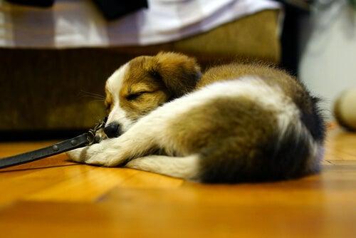 Un chier est couché sur le parquet à côté du lit