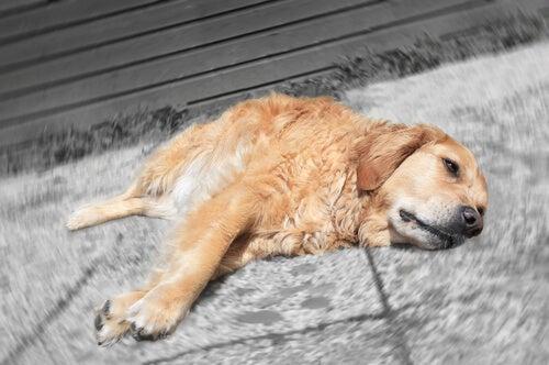 Comment augmenter le taux de plaquette sanguines chez les chiens