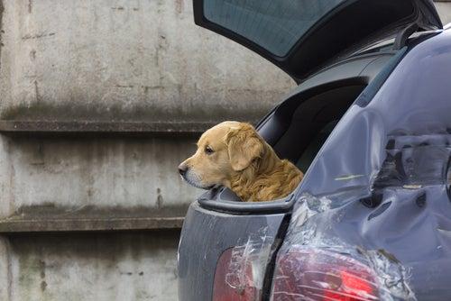 Un chien sort la tête du coffre de la voiture