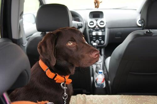 un labrador marron est en laisse à l'arrière d'une voiture