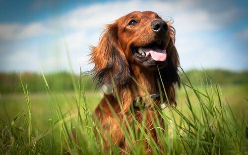 chien heureux dans une prairie