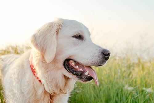 Un labrador avec la langue qui pend se tient dans un pré