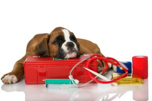 chien malade ayant besoin d'une transfusion sanguine