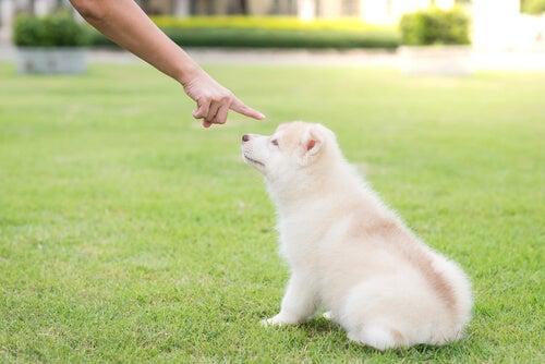 Un chien blanc qui reçoit un ordre
