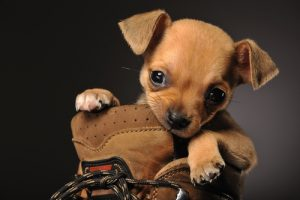 destruction d'une chaussure par un chien