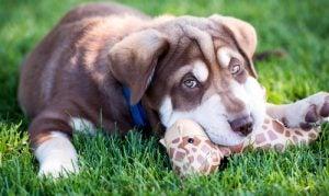 chien qui mord un jouet