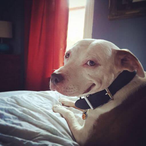 pitbull couché sur un lit qui sourit comme un humain