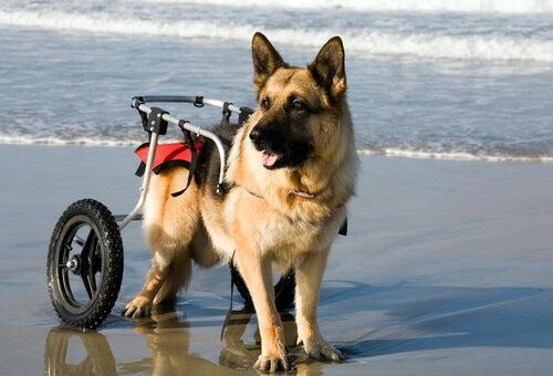 Des chiens en fauteuil roulant profitent de la plage
