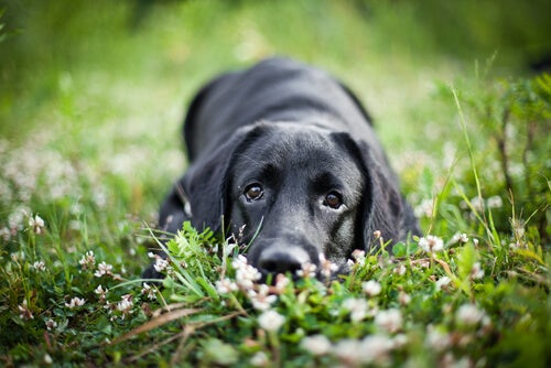 Un chien noir allongé dans l'herbe