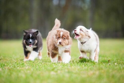 chiots labrador qui courent sur la pelouse