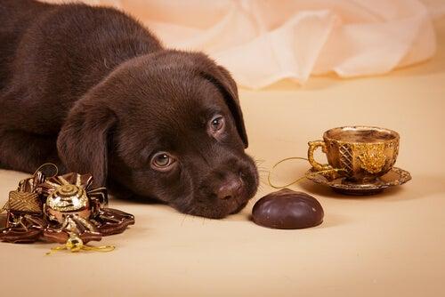 Un chiot labrador marron, avec du chocolat et une tasse de thé dorée