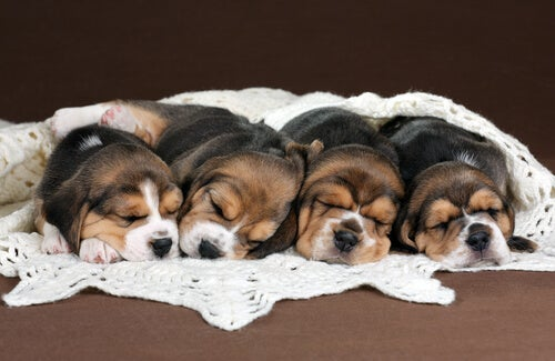 chiots beagle endormis dans un drap
