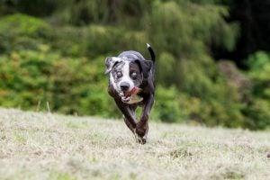 les bénéfices pour la santé de l'animal du smartphone pour chiens