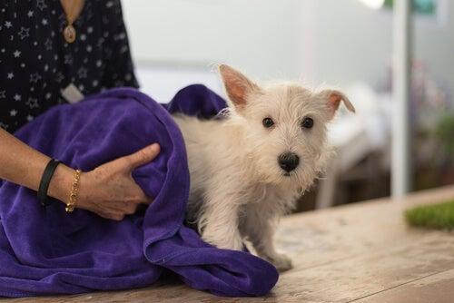 Comment éliminer les tiques de votre chien ?