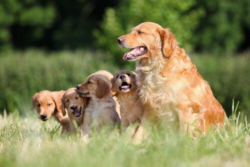Un Golden Retriever avec ses chiots dans un pré