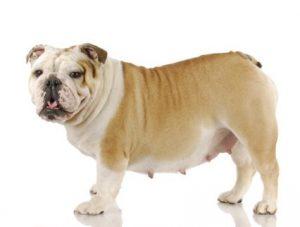 chien obèse comme Obie