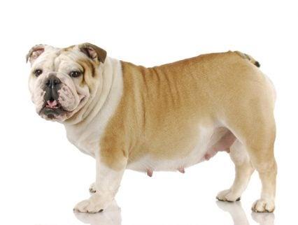 La gestation chez les chiennes. Quels sont les soins nécessaires ?