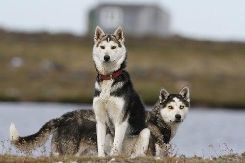deux Husky sur la berge d'un fleuve