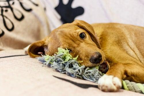 chien allongé à côté d'une corde jouet