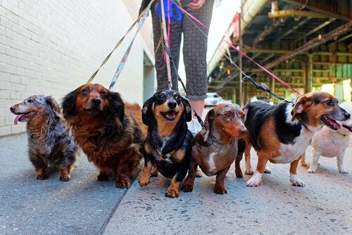 six chiens en balade avec un promeneur de chiens
