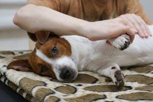 Une séance d'ostéopathie canine