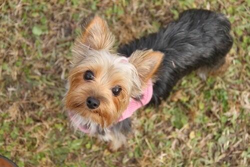 6 choses à savoir au sujet des petits chiens
