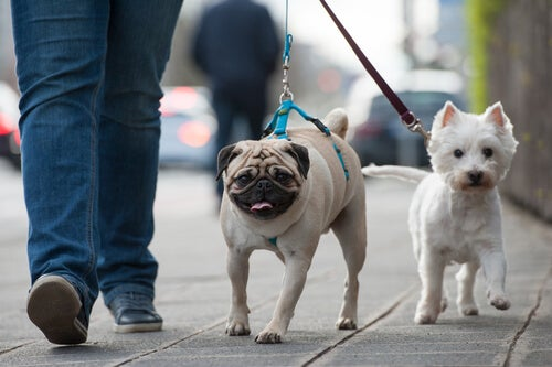 Deux petits chiens sont promenés en ville grâce à la laisse