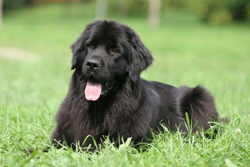 Les 8 races de chiens les plus paresseuses