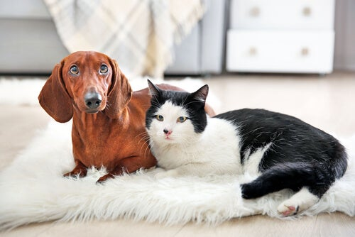 Un teckel brun et un chat noir et blanc sur un tapis