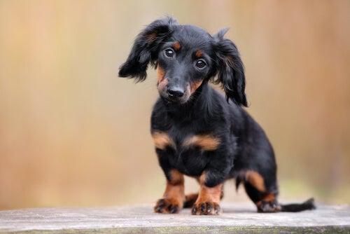 Le teckel ou chien saucisse