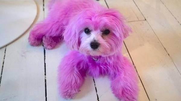 Un chien teint en rose : la police recherche les responsables