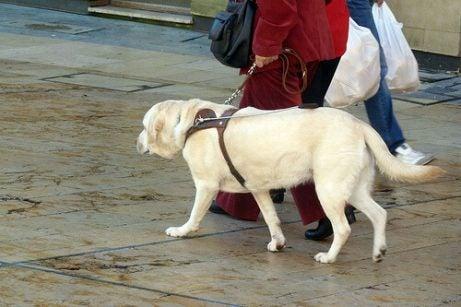 chien promené avec un harnais